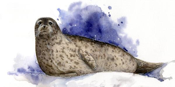 Тюленья шкура